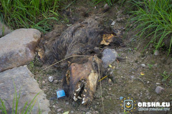 На берегу Днепра напротив Ледового дворца в Орше уже несколько недель разлагаются останки дикого кабана