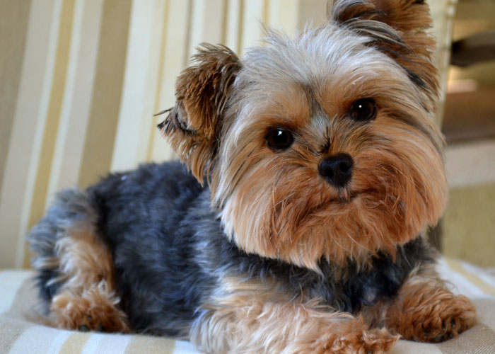 yorkshire-terrier-fat-7